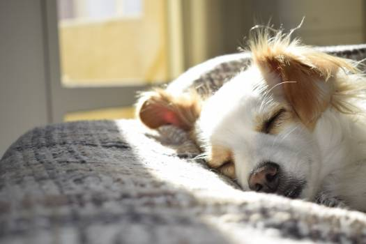 Closeup Photography of Adult Short-coated Tan and White Dog Sleeping on Gray Textile at Daytime #330101