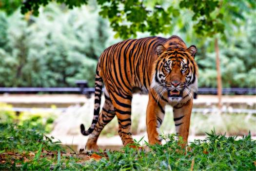 Tiger Above Green Grass during Day Time #330221