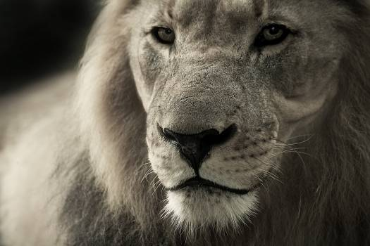 Black and White Lion Photograph #33141