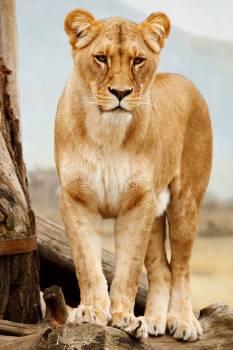 Brown Tiger Free Photo