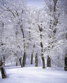 Trees Covered With Snow Free Photo