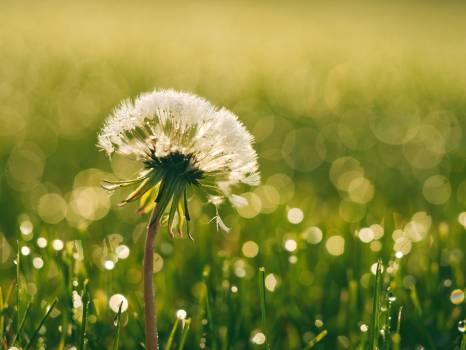 Macro Shot of Dandelion during Daytime #33242