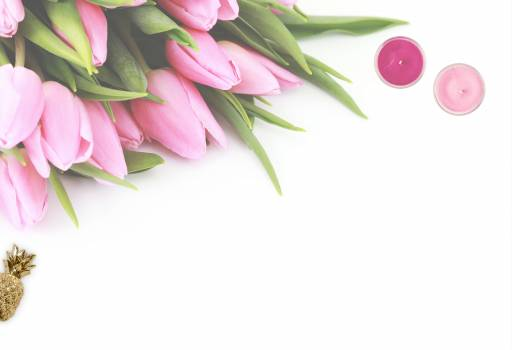 Pink Tulip Flowers With White Background #332457