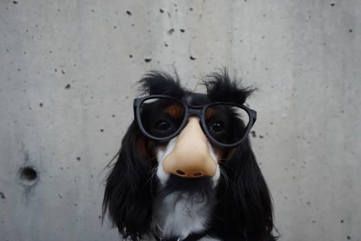 White and Black Long Coated Dog Wearing Black Sunglasses Free Photo