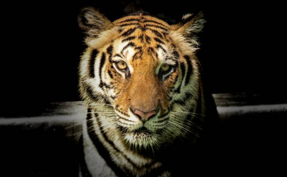 Wildlife Photography of Tiger #332715
