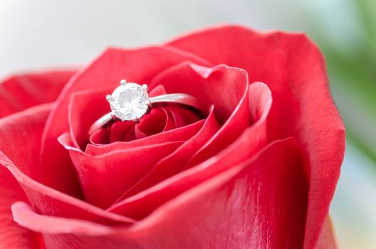 Silver Diamond Embed Ring on Red Rose Free Photo