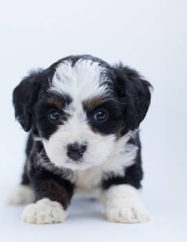 Black and White Maltese Puppy #332931
