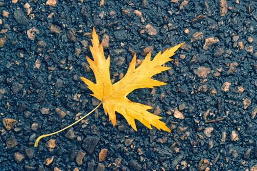 Photo of Maple Leaf On Ground Free Photo