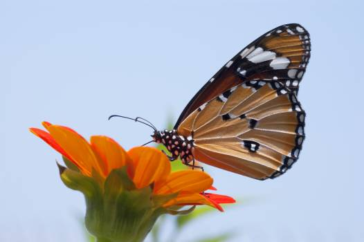 Close Up Photo of Monarch Butterfly on Top of Flower Free Photo