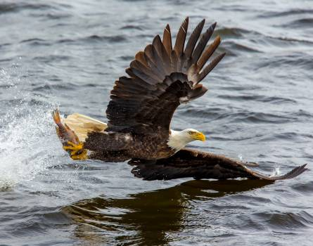 Bald Eagle over the Body of Water #333323