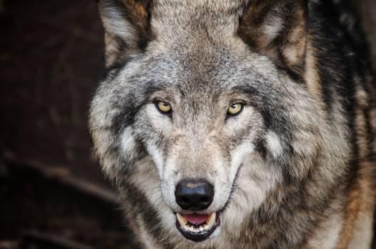Brown Wolf #333689