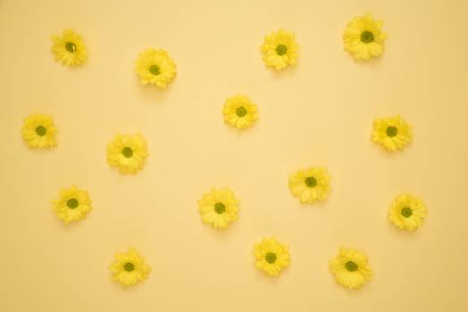 Yellow Daisies Laid on Yellow Surface #333732