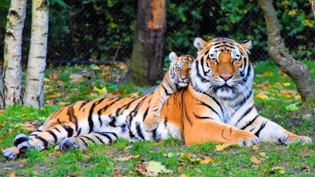 Photo of Tiger and Cub Lying Down on Grass #333758
