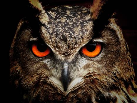 Brown and Black Owl Staring Free Photo