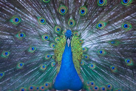 Blue Peacock Wallpaper #334210