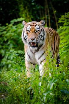 Tiger Walking on Green Plants During Daytime #334262