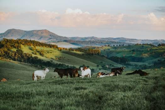 Herd of Cattle in Daytime #334273