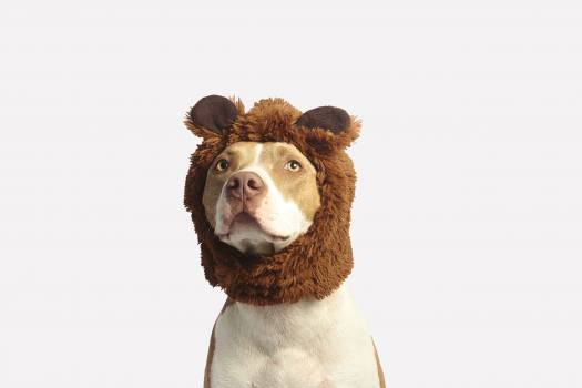 Brown and White American Pit Bull Terrier With Brown Costume #334384