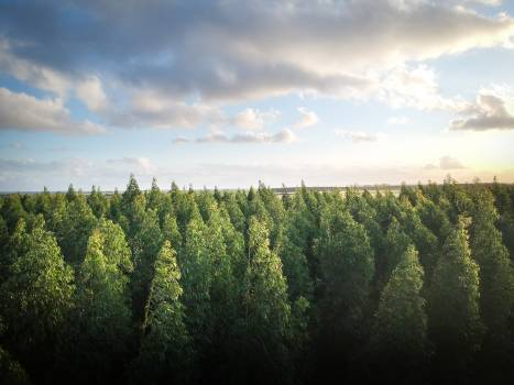 Green Pine Trees #334545