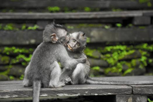 Two Gray Monkey on Black Chair #334560