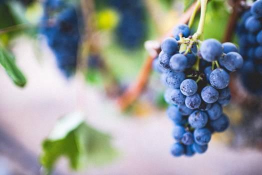 Blue Grapes Fruit #33460