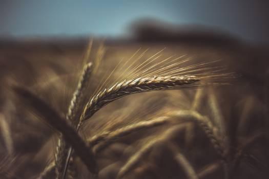 Brown Wheat Plant #334811