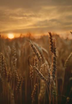 Close-Up Photo of Wheat #335002