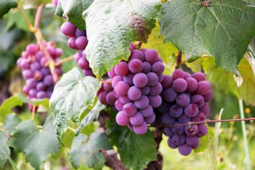 Several Bunch of Grapes Free Photo