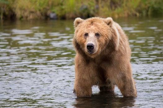 Brown Bear in Body of Water during Daytime #335214