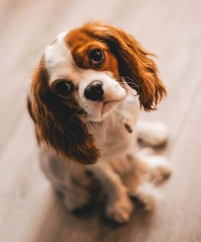 Shallow Focus Photography of a Cavalier King Charles Spaniel #335343