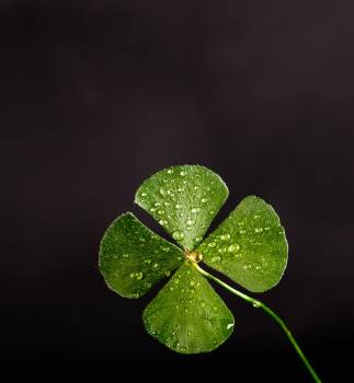 Shallow Focus Photography Of Four Leaf Clover #335695