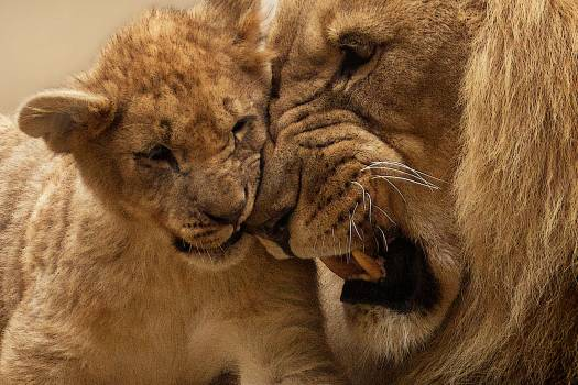 Adult Lion Playing With Lion Cub #33602
