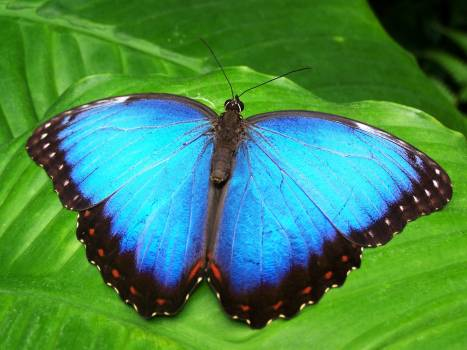 Blue and Black Butterfly #336263
