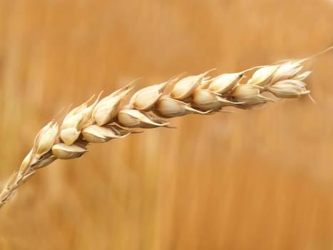 Wheat Grains Closeup Photography Free Photo