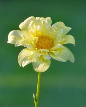 Yellow Petaled Flowering Plant Free Photo