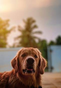 Portrait of a golden retriever #336724