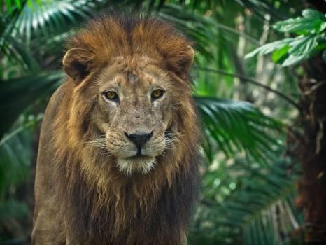 Close-Up Photo of Lion #336822