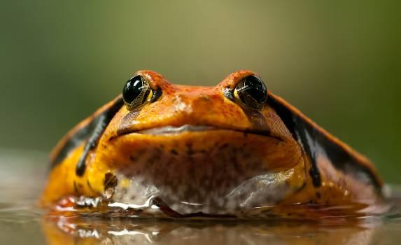 Orange and Black Frog #33695