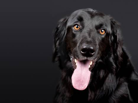Black Flat Coated Retriever #337198