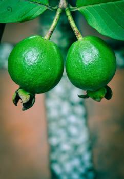 Two Green Guavas #337302