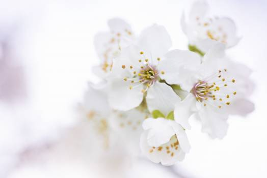 White Cherry Blossoms in Selective Focus Photography Free Photo