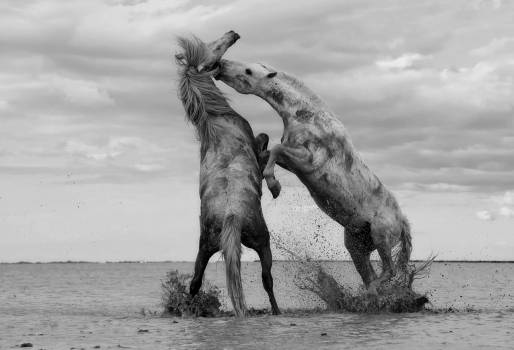 2 Horse Fighting on Shallow Water Grayscale Photo #33752