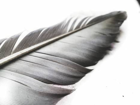 Grayscale Photo of Feather #337550