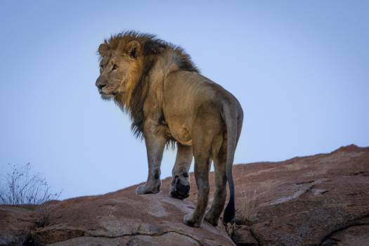 Lion Standing On Hill #337753