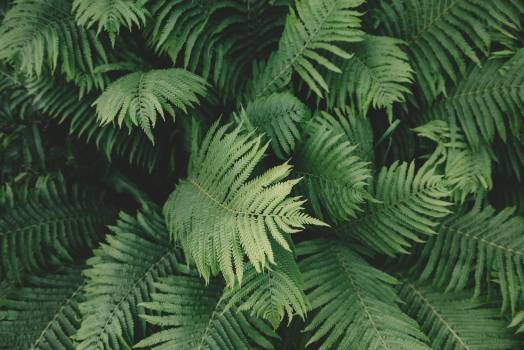 Fern Plant #33775