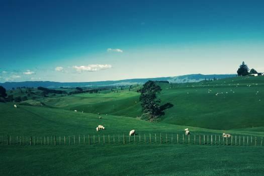 White Furred Animals on Green Grass Field #337886