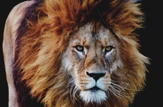 Predator Lion Feline #338156