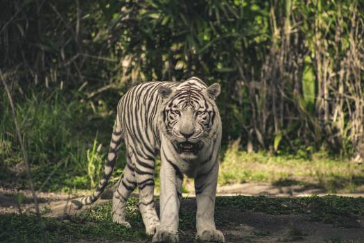 Photo of White Tiger #338197