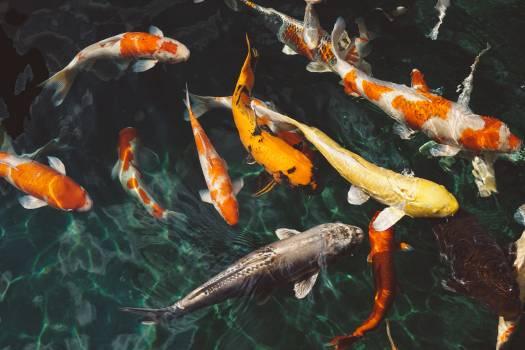 Orange and White Koi Fish Near Yellow Koi Fish #33841