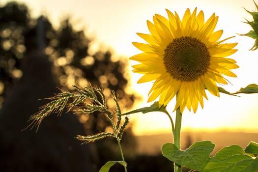 Sunflower during Sunset #33919